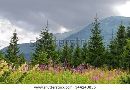 Landscape with spruce, mountains and glade with blooming Chamerion angustifolium, commonly known as fireweed (Epilobium angustifolium), rosebay willowherb and great willow-herb. Carpathian mountains. - stock photo