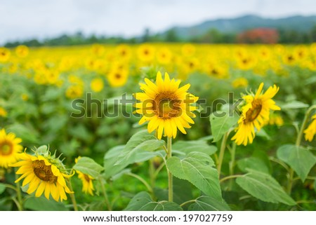 Landscape with sunflower - stock photo