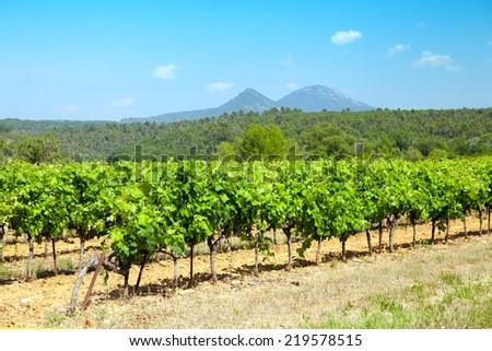 Landscape with vineyard (Provence-Alpes-Cote d'Azur, France) at summer  - stock photo