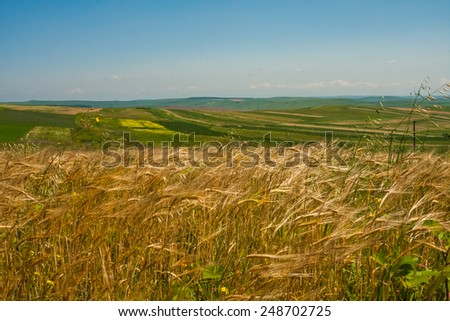 Landscape with wheat field and blue flowers in the wind - stock photo
