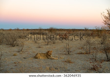 Landscape with young male lion in the foreground just after sunset in Etosha National Park, Namibia