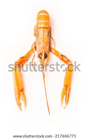Langoustine  (Nephrops norvegicus),Dublin Bay Prawn or Norway Lobster ioslated on a white studio background. - stock photo