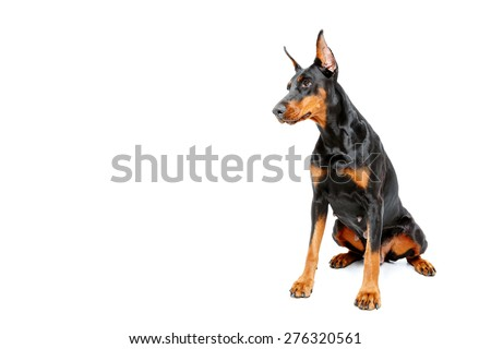 Languorous glance. Sitting doberman pinscher on white isolated background. - stock photo