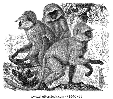 Langur ape (Semnopithecus Entellus) - Vintage illustration from Meyers Konversations-Lexikon 1897