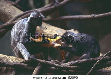 Langurs fighting over baby