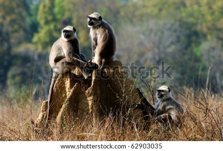 Langurs involved in mock fighting in Kanha Tiger Reserve. - stock photo