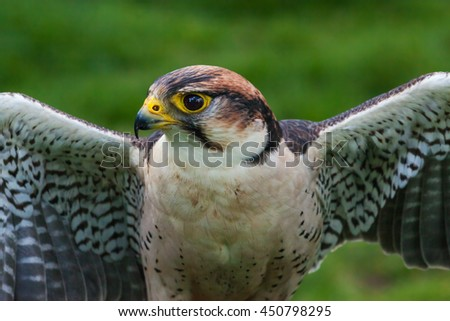 Lanner Falcon close up. A beautiful lanner falcon holds its wings out rather like a cormorant. - stock photo