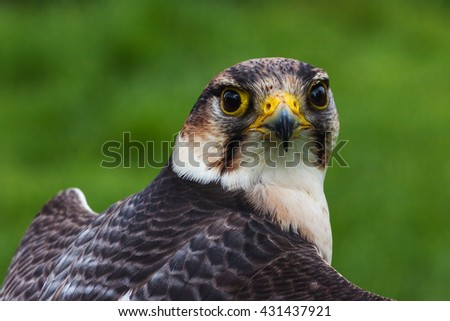 Lanner Falcon face to face. A close up view of a lovely lanner falcon as it stares down the camera. - stock photo