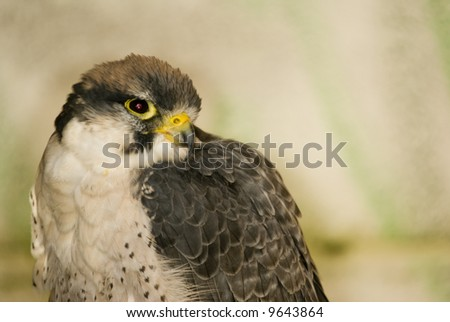Lanner Falcon (Falco biarmicus) - landscape orientation - stock photo