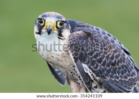 Lanner Falcon looking at you. A splendid lanner falcon stares at the camera with its big eyes. - stock photo