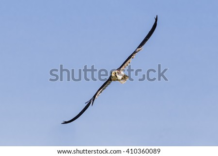 Lanner Falcon wheeling through the sky. An impressive lanner falcon forms a diagonal as it turns in the sky. - stock photo
