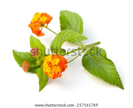 Lantana flowers and leaves on a white background - stock photo