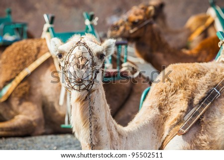 Lanzarote, Canary Islands . Close up camel waiting for tourist at Timanfaya National Park . A volcanic landscape in background . - stock photo