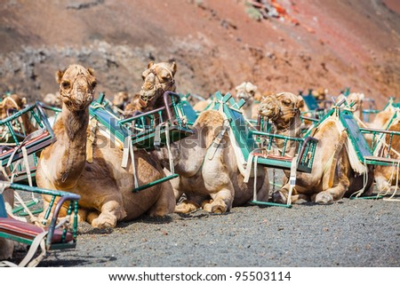 Lanzarote, Canary Islands. Some dromedaries waiting for tourist at Timanfaya National Park - stock photo