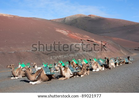 Lanzarote, Canary Islands . Some dromedaries waiting for tourist at Timanfaya National Park . A volcanic landscape in background . - stock photo