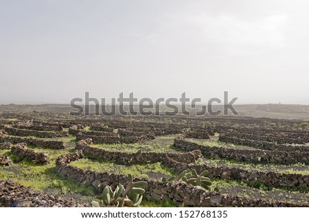 Lanzarote, Canary islands, Spain. A vineyard with vines growing in black sand, in sectors with walls built of volcanic rock, with sea in the horizon on a misty day. - stock photo