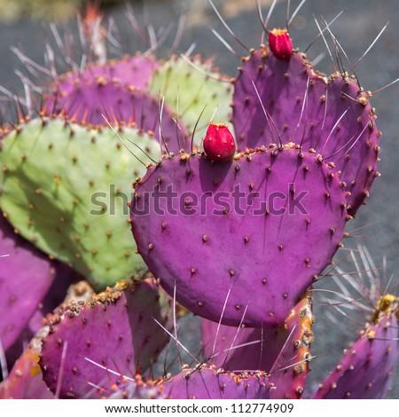 Lanzarote Guatiza cactus garden Cactaceae Opuntia Macrocentra pink from Mexico - stock photo