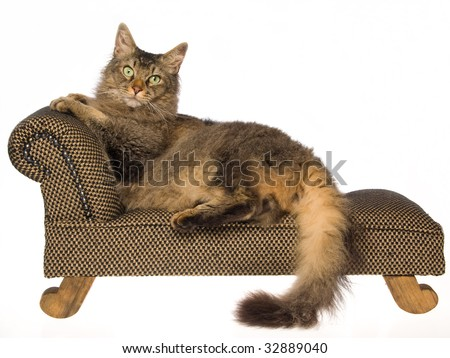 Laperm cat lying on miniature couch, on white background - stock photo