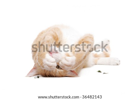 LaPerm Cat with catnip on white - stock photo