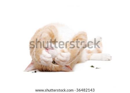 LaPerm Cat with catnip on white - stock photo