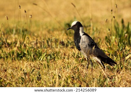 Lapwing plover. - stock photo