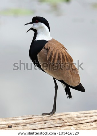 lapwing standing on one leg - stock photo