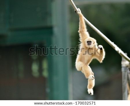 Lar Gibbon, or a white handed gibbon (Hylobates lar) plays on a rope in a zoo.  - stock photo