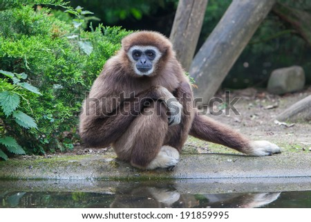 Lar Gibbon, or a white handed gibbon (Hylobates lar) plays with water - stock photo