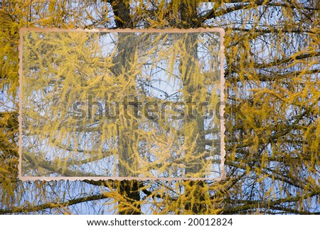 Larch background