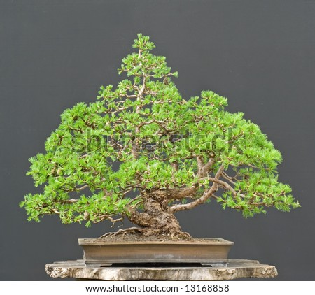 larch bonsai in spring