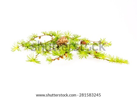 Larch branch isolated on a white background - stock photo