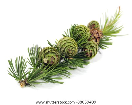larch branch with cones on a white background - stock photo