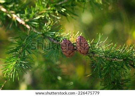 larch cones on a branch
