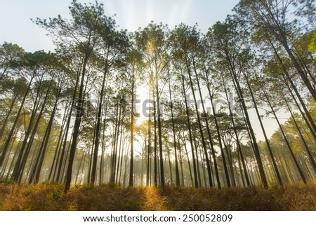 Larch forest with sunlight and shadows at sunset - stock photo
