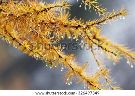 Larch (Larix) yellow autumn leaves full of rain drops