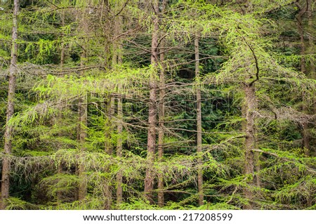 Larch tree branches
