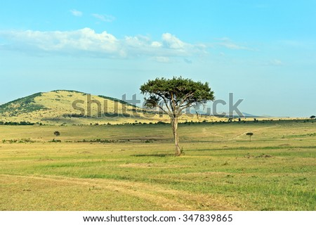Large Acacia tree in the open savanna plains of the Masai Mara - stock photo