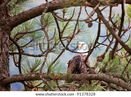 Large adult bald eagle perched on a tree in Idaho - stock photo