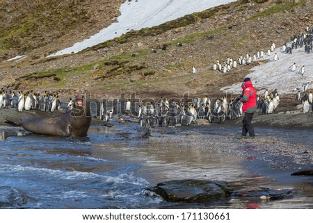 Large adult elephant seal screams to frighten photographer - stock photo