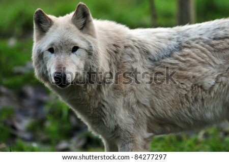 Large adult gray wolf looking at the camera