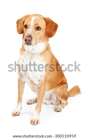 Large adult Labrador Retriever and Beagle mixed breed dog sitting to the side