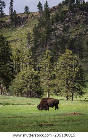 large adult male american buffalo or bison standing on green prairie grass - stock photo