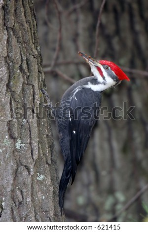 Large Adult Male Pileated Woodpecker clinging to the side of a tree with wood chips on it's beak. - stock photo