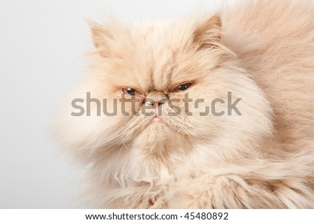 LARGE ADULT PERSIAN CAT LOOKING STRAIGHT INTO THE CAMERA
