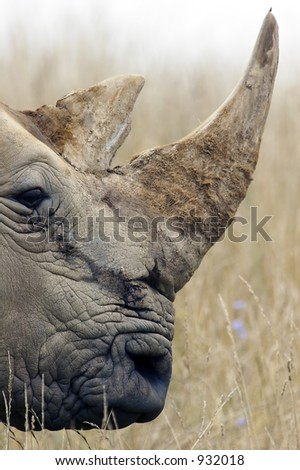 Large adult Rhino profile accentuating the horns. - stock photo