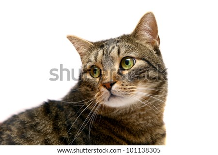 Large adult tabby cat, isolated on white