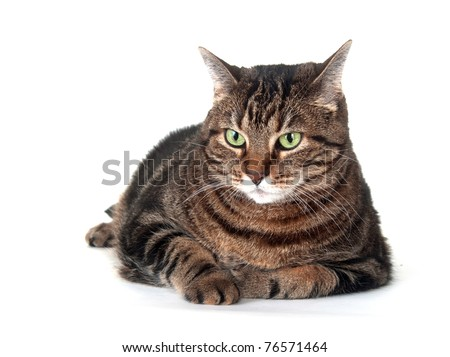 Large adult tabby cat laying down on white background