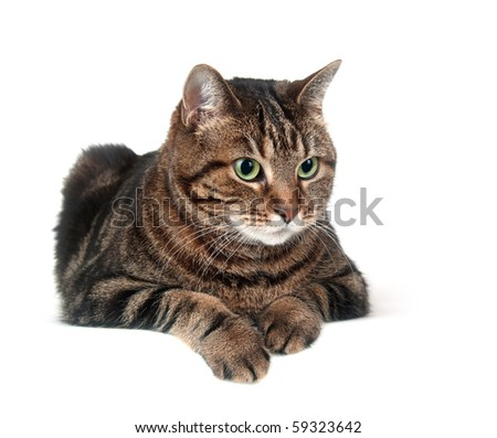 Large adult tabby cat sitting on white background - stock photo