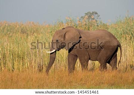 Large African bull elephant (Loxodonta africana), Caprivi region, Namibia  - stock photo