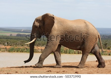 Large African elephant bull at a waterhole - stock photo